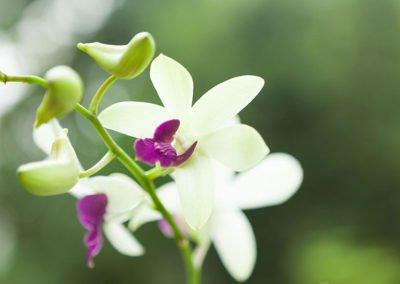 Dendrobium Violet White