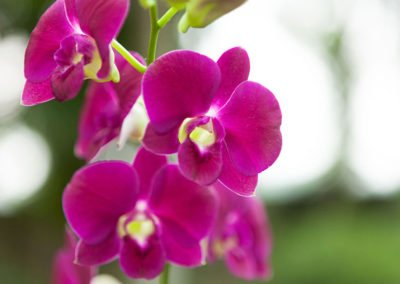Dendrobium Samplan Red