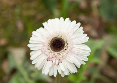 Gerbera Cream White