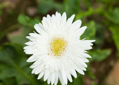 Gerbera Fresh White