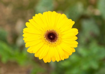 Gerbera Deep Yellow