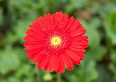 Gerbera Blood Red