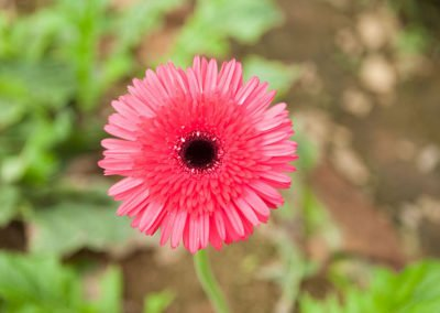 Gerbera Sweet Color