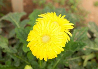 Gerbera Tumeric Yellow